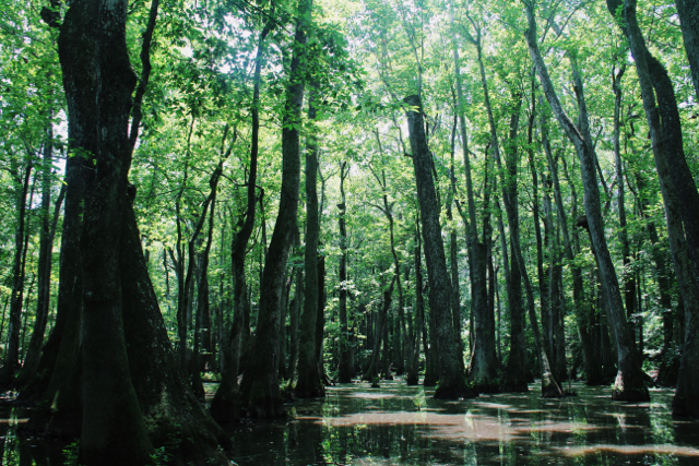 mississippi_swamp
